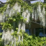Close-up of fragrant white wisteria.