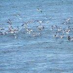 Seagulls in a feed frenzy