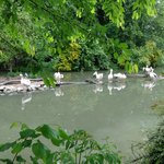 White pelicans enjoying their environment at Lille zoo.