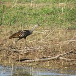 Limpkin seen during boat tour
