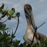 Roosting Pelican