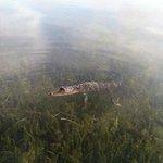 alli the gator