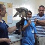 Volunteer feeding a falcon