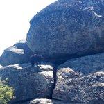 Black Bear cub at top of Old Rag