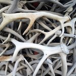 Close-up of the antlers