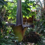 Titan Arum at Floral Showcase...John tracked the progress so we could see it.