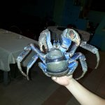 coconut crab in the living
