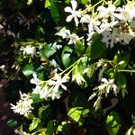 Intoxicating Jasmine Blossoms.