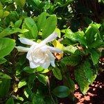 Gardenia Blossom. Aroma from the Gods!