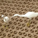 Eastern Reef Egrets (white morph)