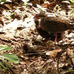 Buff-banded rail with chicks