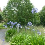 agapanthus on the driveway to the cottage
