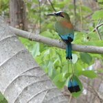 I took this Motmot pic on the golf course