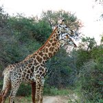Giraffe Fight meters away from River Lodge