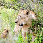 Lion with cub...8 more cubs played nearby!