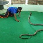 big king cobra