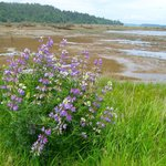 Wildflowers in spring at Nisqually (low tide on puget sound)
