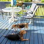 Beagles Enjoying the Sun Deck
