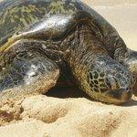 Turtle on Poipu Beach