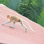 프로보시스 원숭이