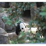 look, Panda!