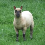 clun sheep
