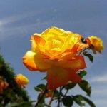 Tolle Rosen in vielen Farben