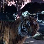 One of the Sumatran tigers
