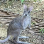 baby wallabie our hosts care for