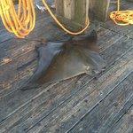 50lb + mana ray caught on the pier.