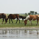 Wild pinto ponies of Assateague seen from Charlie's boat