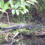 11ft Alligator.....