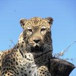 Leopard-lulu