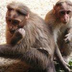 singes partout !