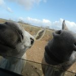 Donkeys greeting direct from our car