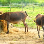 ...donkeys