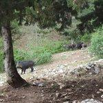 Wild pigs near Parador