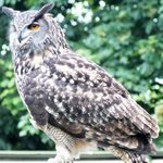 Owl from the flying display