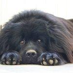 """""""Urso"""" our Staff Dog"""