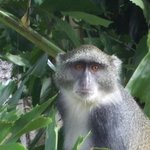 One of the many monkeys that roam the grounds