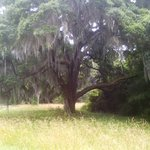 One of many spanish-moss laden oaks at the Charles Pinckney Historic Site.