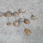 Horseshoe crab collection