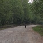 Bear walking down the dirt 20 minutes away