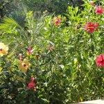 Hibiscus flowers next to my patio.