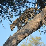 This leopard was very nimble climbing up the tree