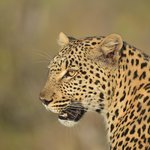 Courting leopard