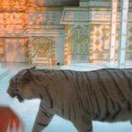 distressed tiger