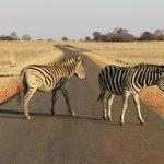 Zebra out on a stroll