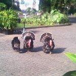 Turkeys in the Garden