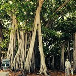The country's biggest banyan tree!